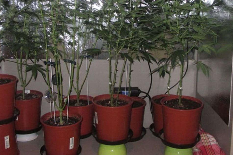 Diverse Cannabispflanzen wurde in einer Dresdner Wohnung entdeckt.