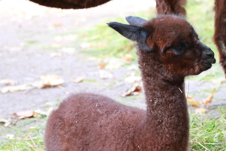 Chemnitz: Ist das süß! Der neue Alpaka-Nachwuchs im Chemnitzer Tierpark