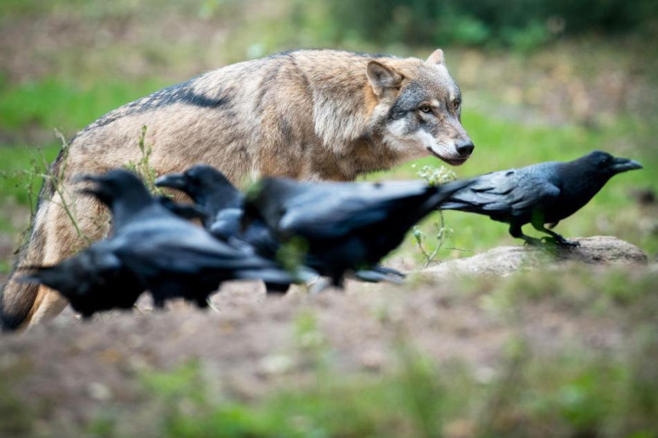 Raubtiere unter sich: Wolf und Kolkraben. Die Vögel sind für Lämmer deutlich gefährlicher.