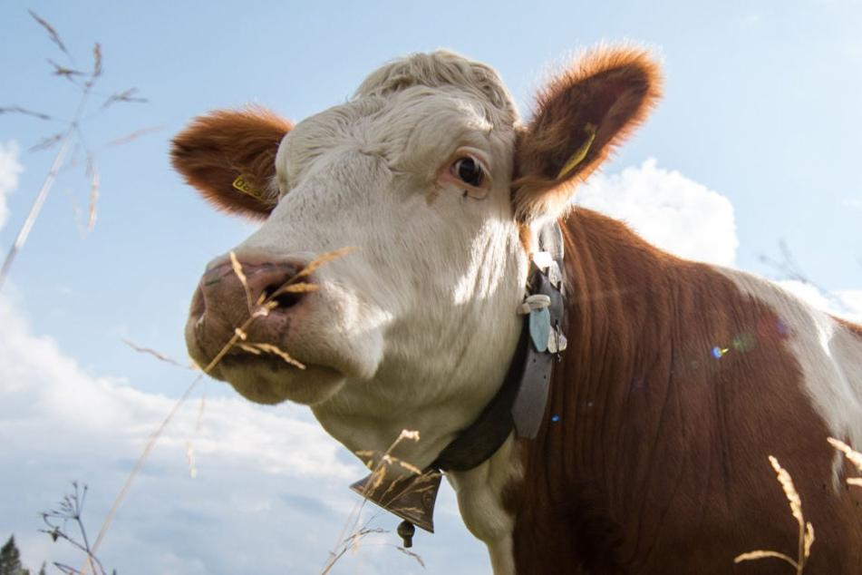 Die Kuh hatte sich im Schlachthof losgerissen und war panisch auf die Straße gerannt (Symbolbild).