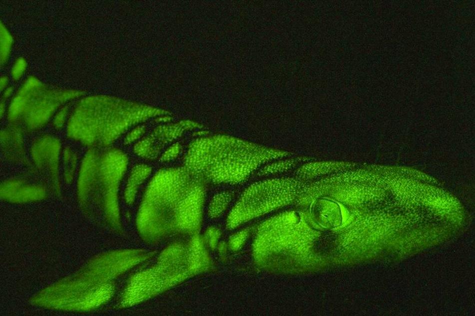Ein Kettenkatzenhai, der mit einer Spezialkamera fotografiert wurde, um das grüne Leuchten für das menschliche Augen erkennbar zu machen.