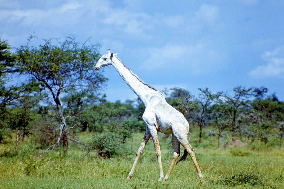 The world's only white giraffe lives in the Ishaqbini Hirola sanctuary in Garissa County, Kenya.