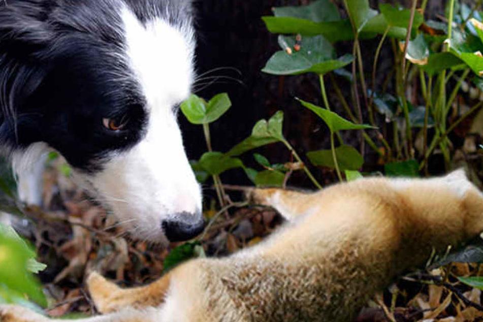 Mehrere Hunde und Füchse waren in den vergangenen Tagen am Tegeler See gestorben.
