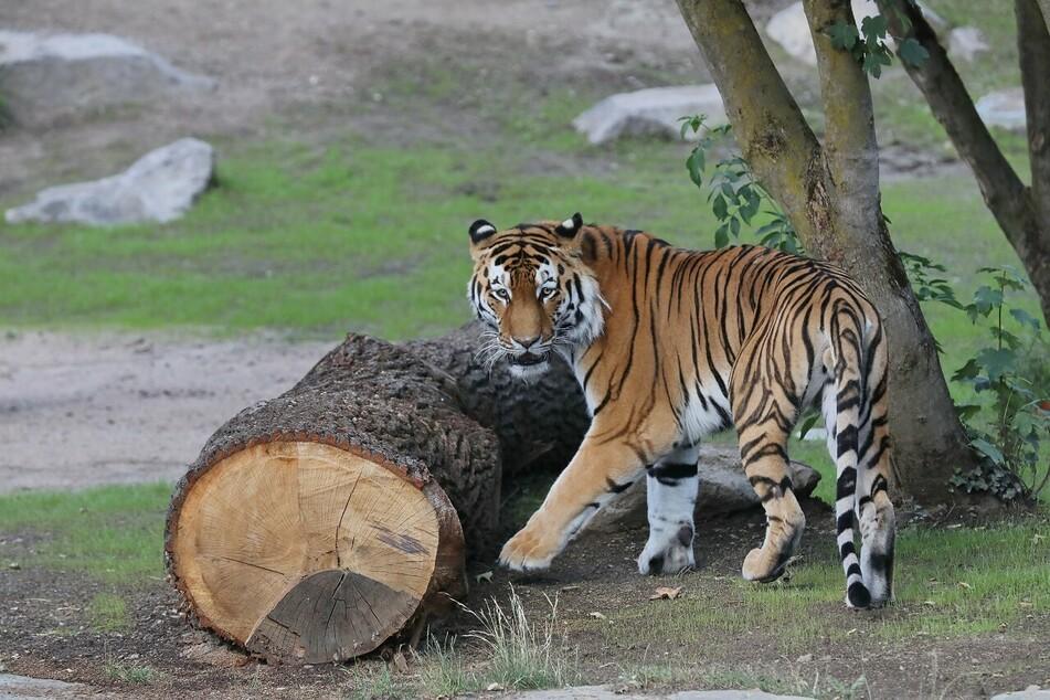 Neue Tiger-Anlage im Kölner Zoo eröffnet