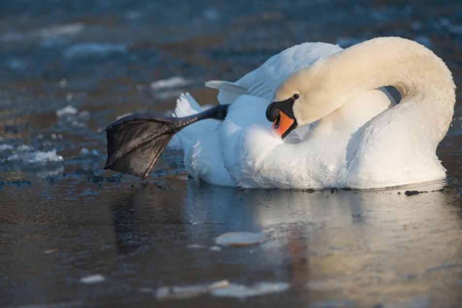Wasservögel, wie Schwäne können auf dem Eis nicht festfrieren, weil sie kalte Füße haben.
