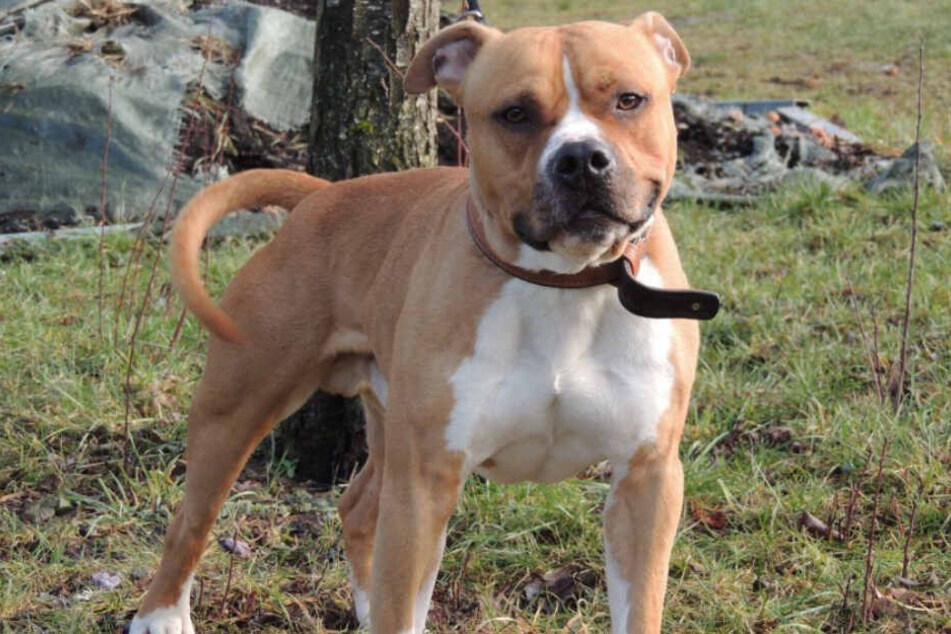 Franky ist ein kastrierter Staffordshire-Terrier.