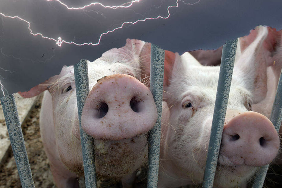 1000 Schweine sterben durch heftigen Blitzeinschlag