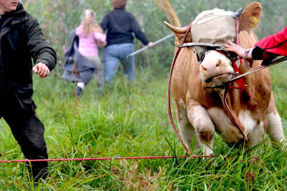 Bei den Wanderern sah die Kuh rot und wurde zum Stier.