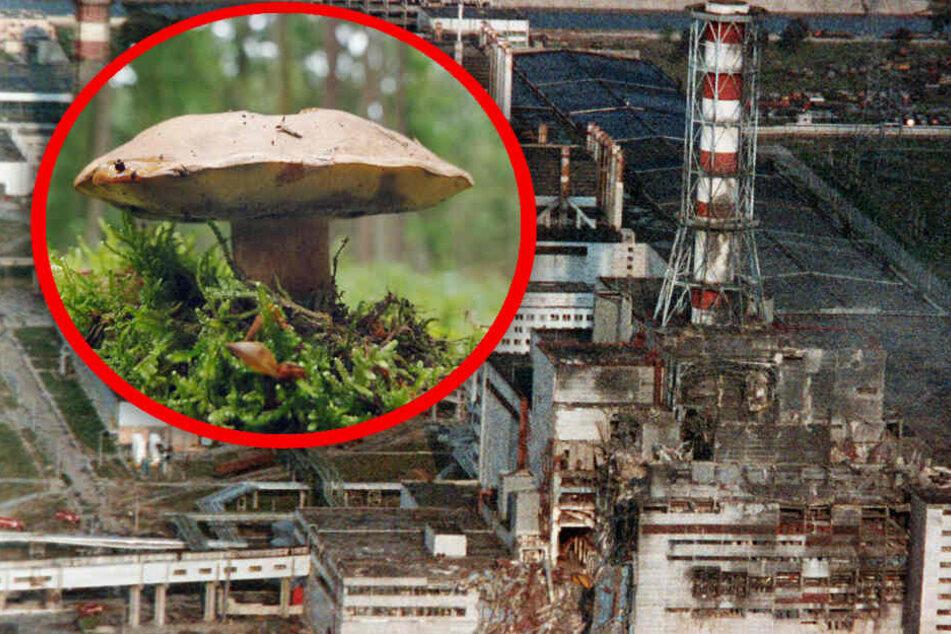33 Jahre nach Tschernobyl: Diese Pilze sind bei uns radioaktiv stark belastet