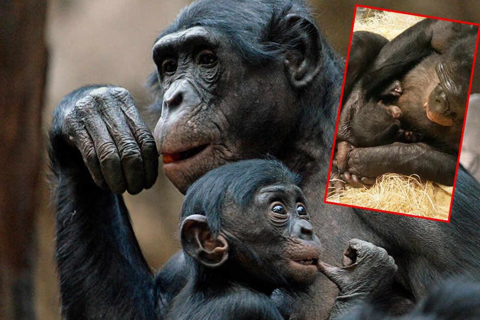 Zoo Leipzig: So soll das verwaiste Affenbaby heißen