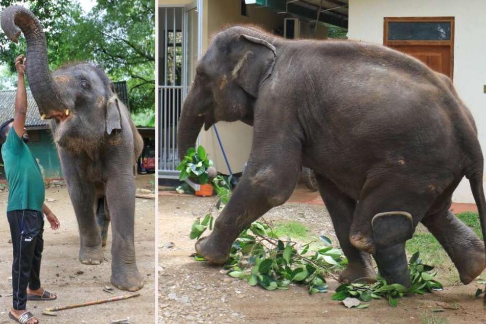 """Elefant """"Namal"""" ist auf eine Beinprothese angewiesen und lebt in einer Tierstation."""