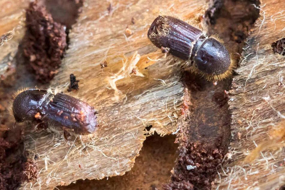 Der Borkenkäfer findet vor allem in geschädigten Wäldern reiche Nahrung.