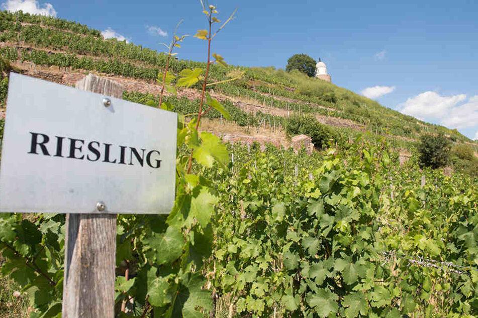 Hitze und Trockenheit über Sachsens Weinbergen - wie hier bei Schloss Wackerbarth: Die Weinlese ist in Gefahr.