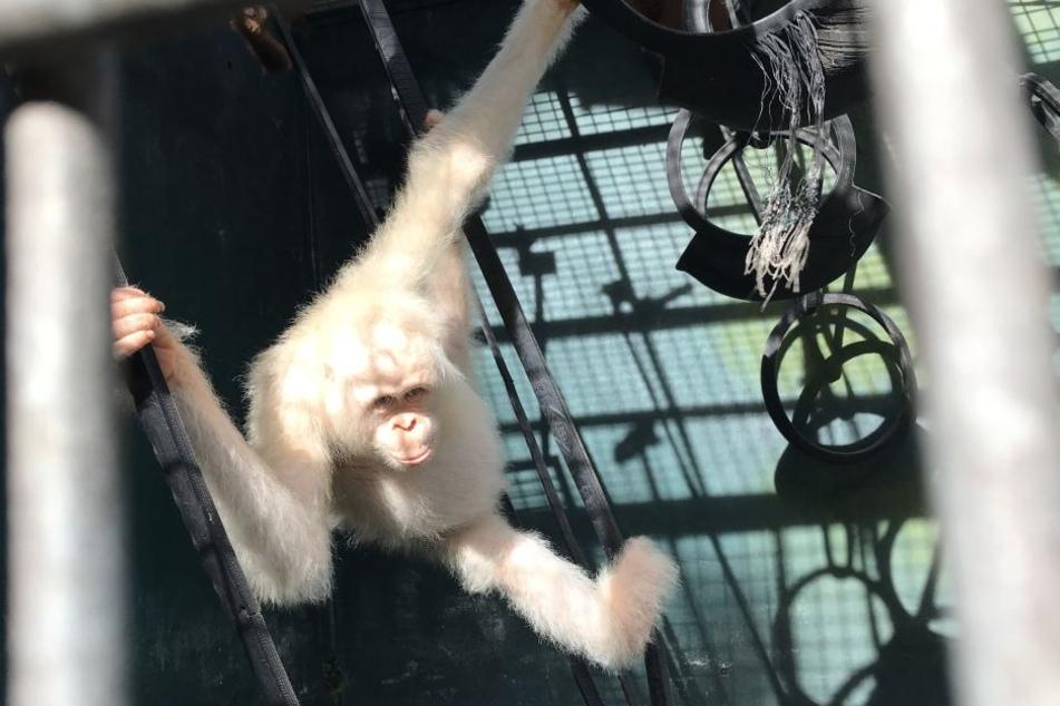 Der weiße Orang-Utan Alba darf zurück in die Freiheit.