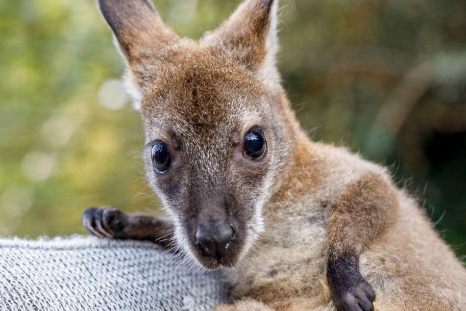 Aktuell lebt Gertrud bei ihrem Ziehvater. Sollte er den Tierpark abgeben, wird die Känguru-Dame ihr neues Zuhause im Erfurter Zoo finden.