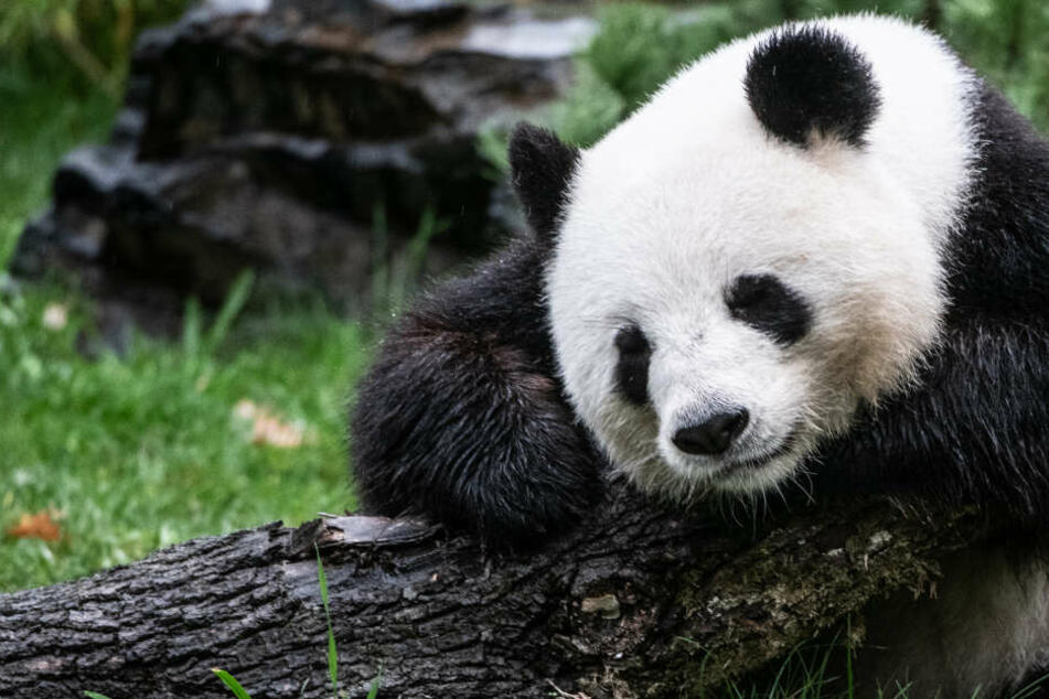 Berlin: Doppeltes Baby-Panda-Glück im Berliner Zoo: Meng Meng bringt Zwillinge zur Welt