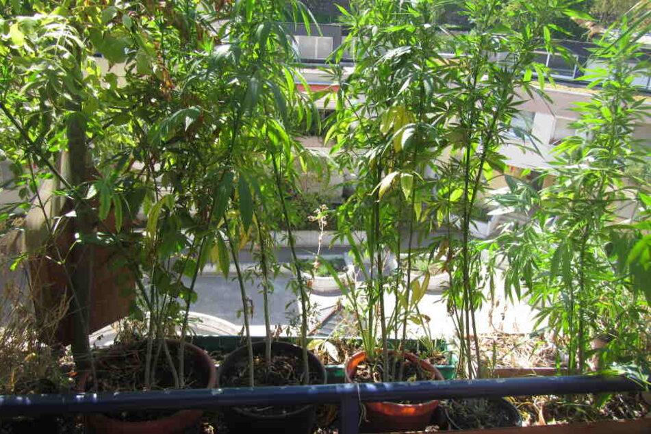 Die Polizei entdeckte 35 Kübel mit Marihuana-Pflanzen.