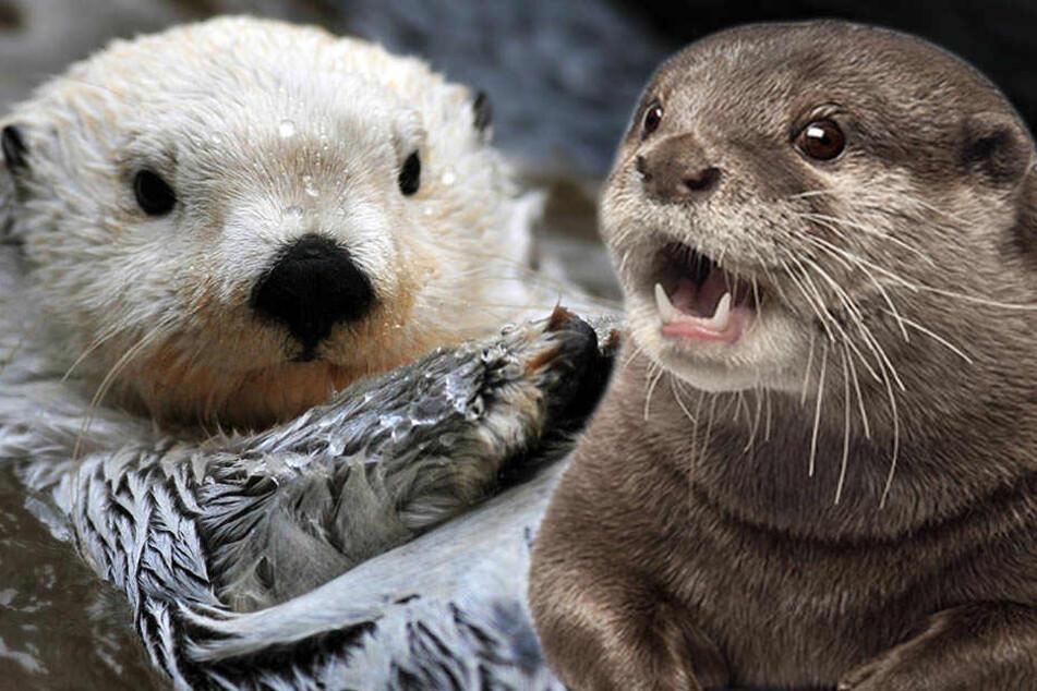 Darum wird hier die Jagd auf süße Otter gefordert