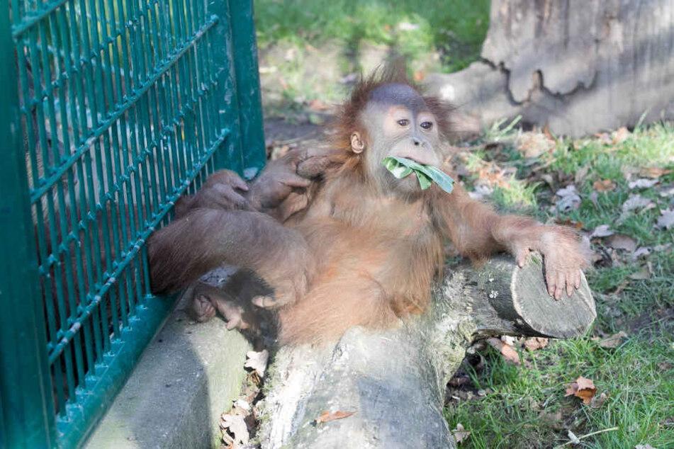 Auch der Orang-Utan sonnte sich seinen Pelz.