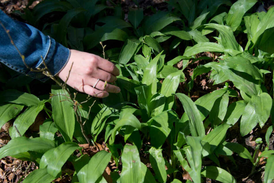 Für Pflanzenunkundige ist beim Sammeln von Bärlauch Vorsicht geboten, denn die Pflanze kann leicht mit giftigen Maiglöckchen oder Herbstzeitlosen verwechselt werden.