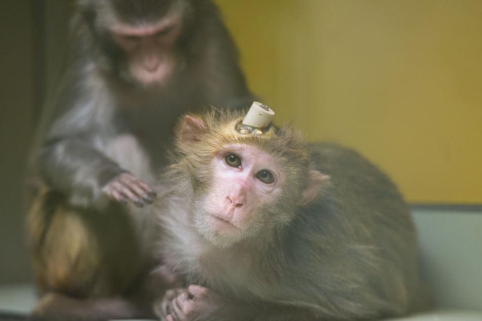 Tierschützer filmten heimlich die Affen. (Archivbild9