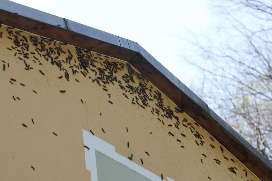 Die Häuser der Anwohner waren von hunderten Tieren besetzt.