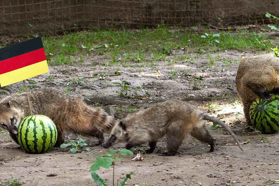 Die Orakel-Nasenbären im Tierpark Chemnitz haben ihren Tipp abgegeben: Deutschland gewinnt.