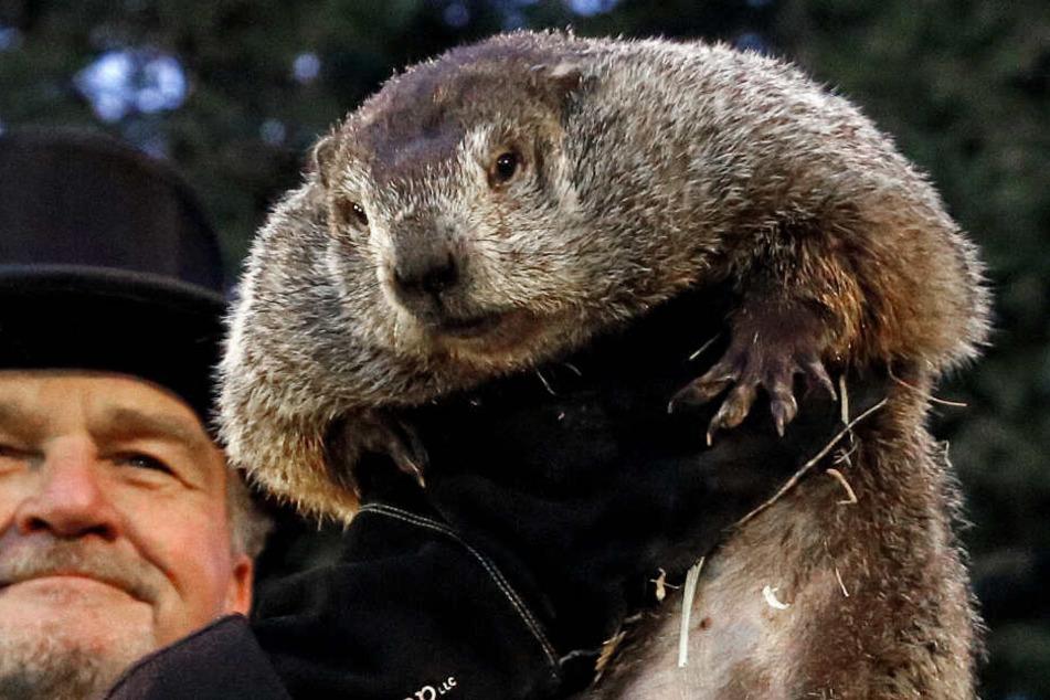 Murmeltier Phil ist in Amerika eine Berühmtheit. Jährlich am 2. Februar sagt er in Punxsutawney den Fortgang des Winters voraus.