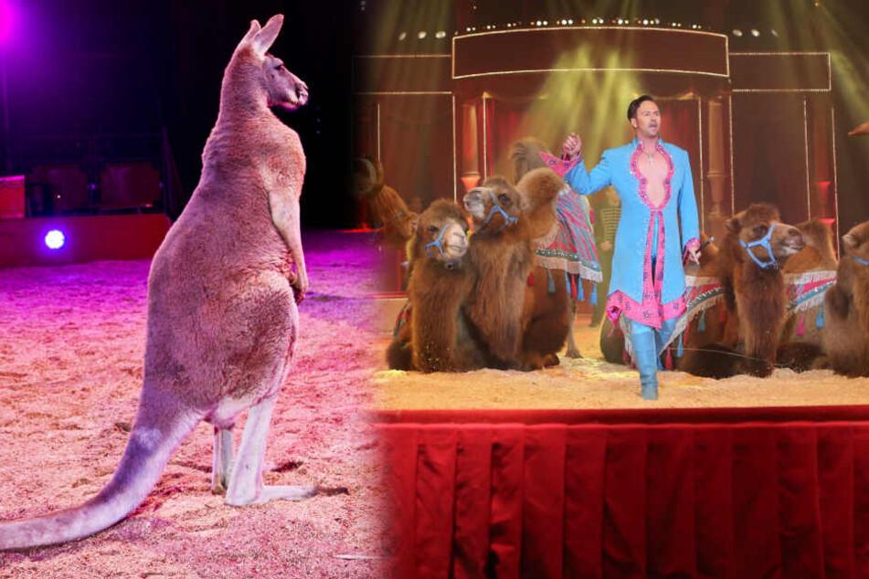 So tierisch wie nie! Durch diesen Circus hüpfen Kängurus