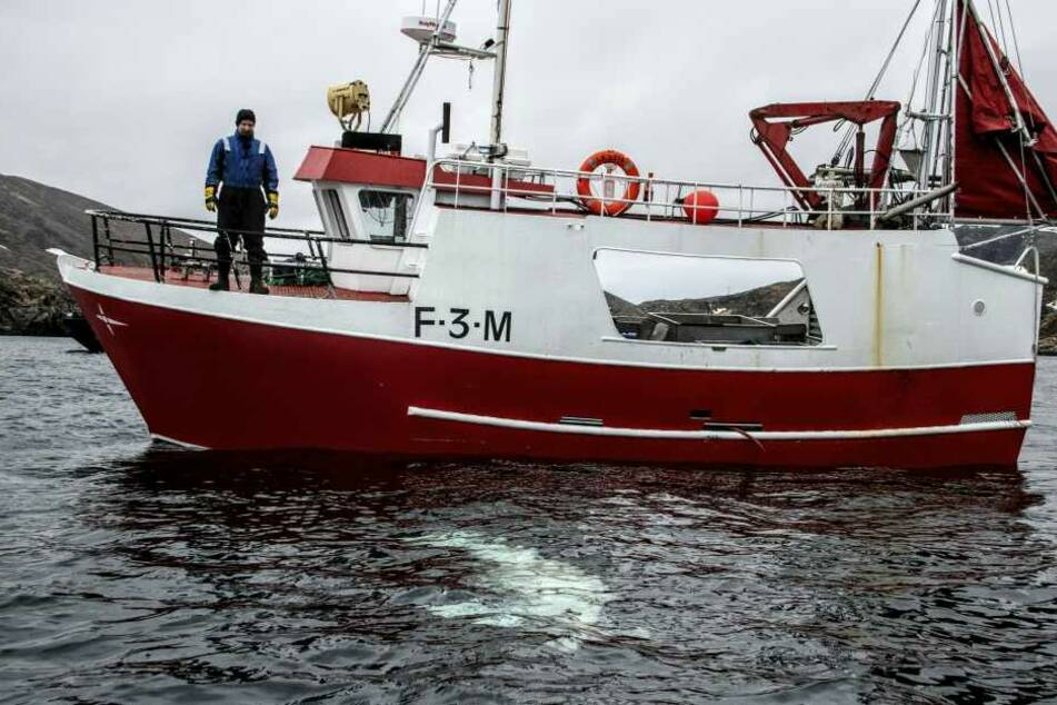 Fischer Joergen Ree Wiig beobachtet den Beluga-Wal.
