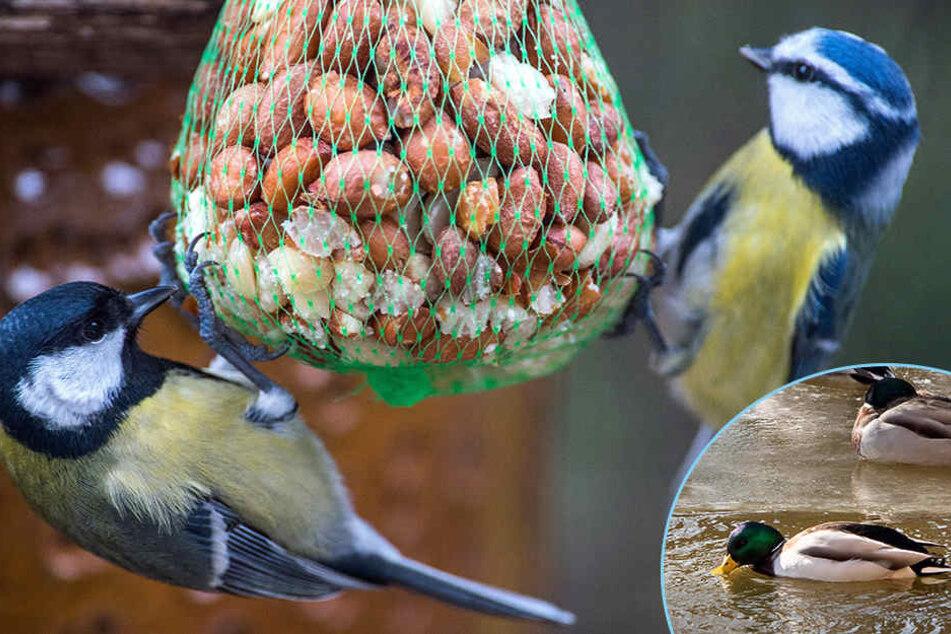 Ob Meisen oder Enten: So füttert Ihr Vögel richtig