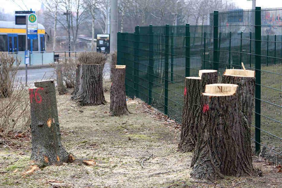 Nach Angaben des NABU fielen rund 100 Bäume und hunderte Meter Strauchhecke der Kettensäge zum Opfer.