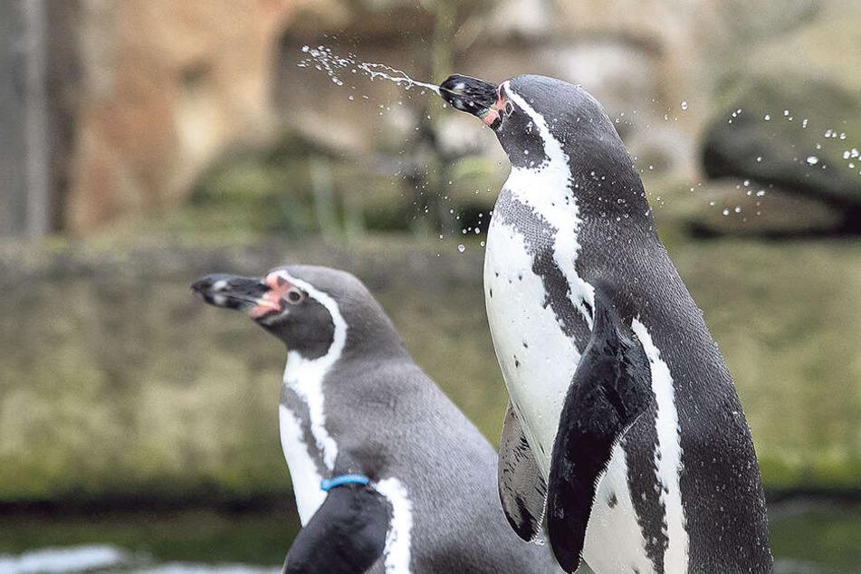 Dresden: Huch! Partnertausch bei den Pinguinen