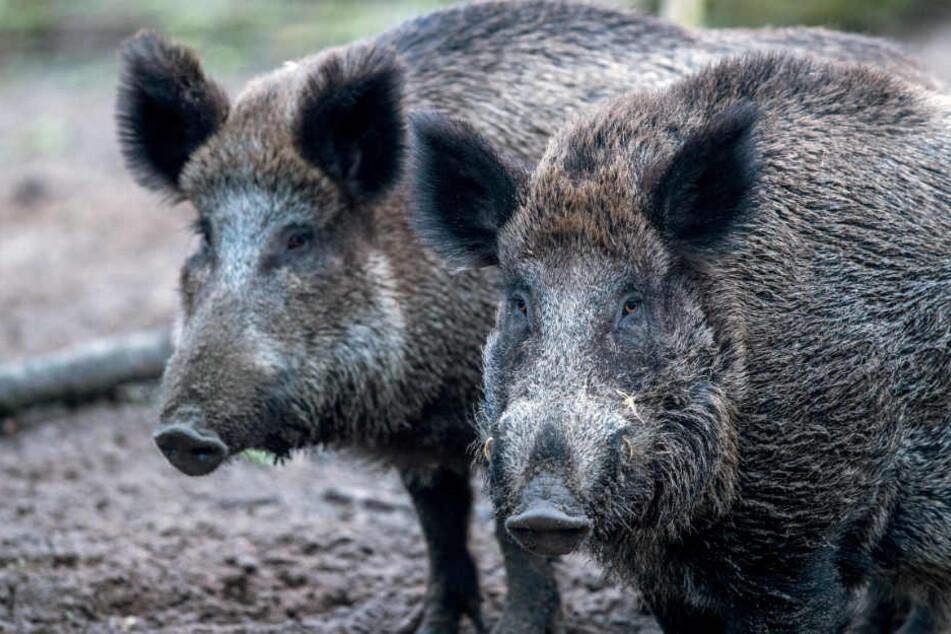 Im Freistaat Bayern müssen Wildschweine verstärkt geschossen werden. (Symbolbild)