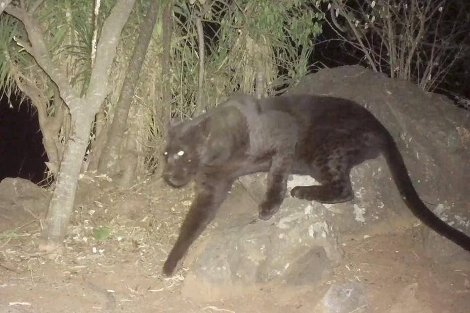 Das Video-Standbild zeigt den seltenen schwarzen Leopard, der in der Loisaba Conservancy in Laikipia in Kenia zu sehen ist.