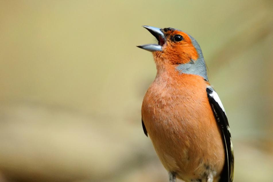 Bei denen piept's wohl: Deshalb nehmen weltweit Tausende Vogelstimmen auf