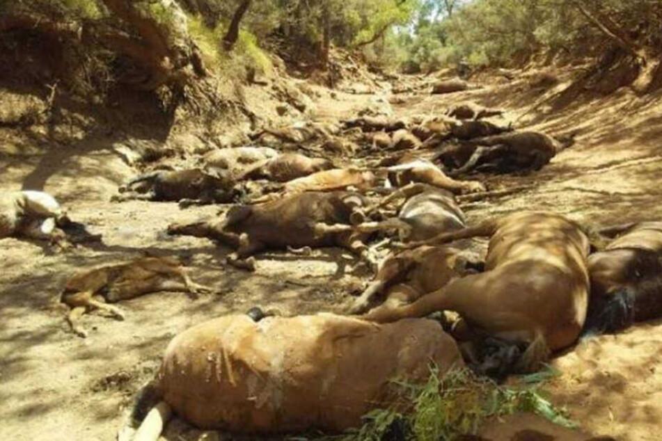Schrecklich: In dem vertrockneten Wasserloch liegen dutzende tote Pferde.