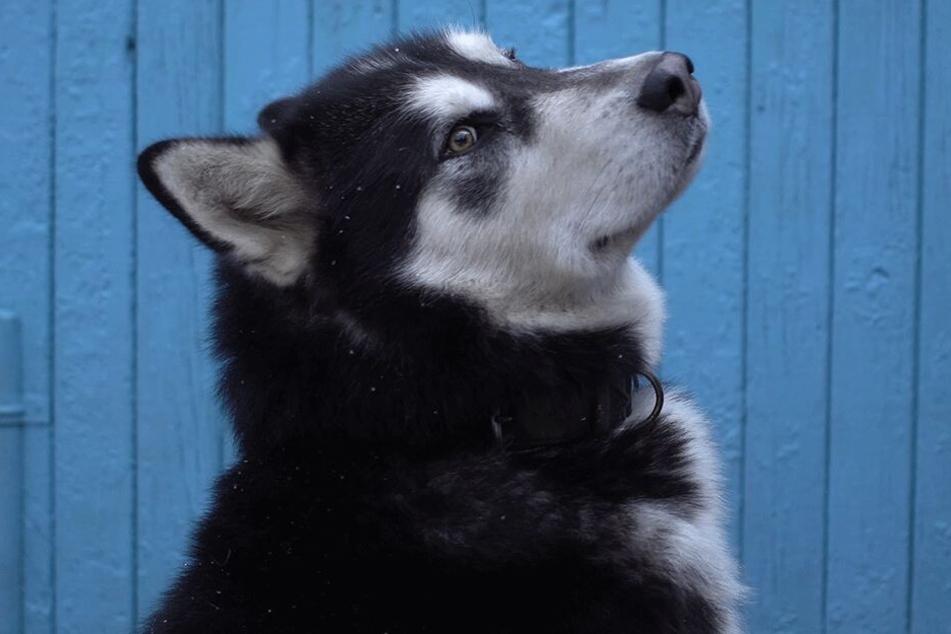 Bei dem Hund handelt es sich um einen Alaskan Malamute (Symbolbild).