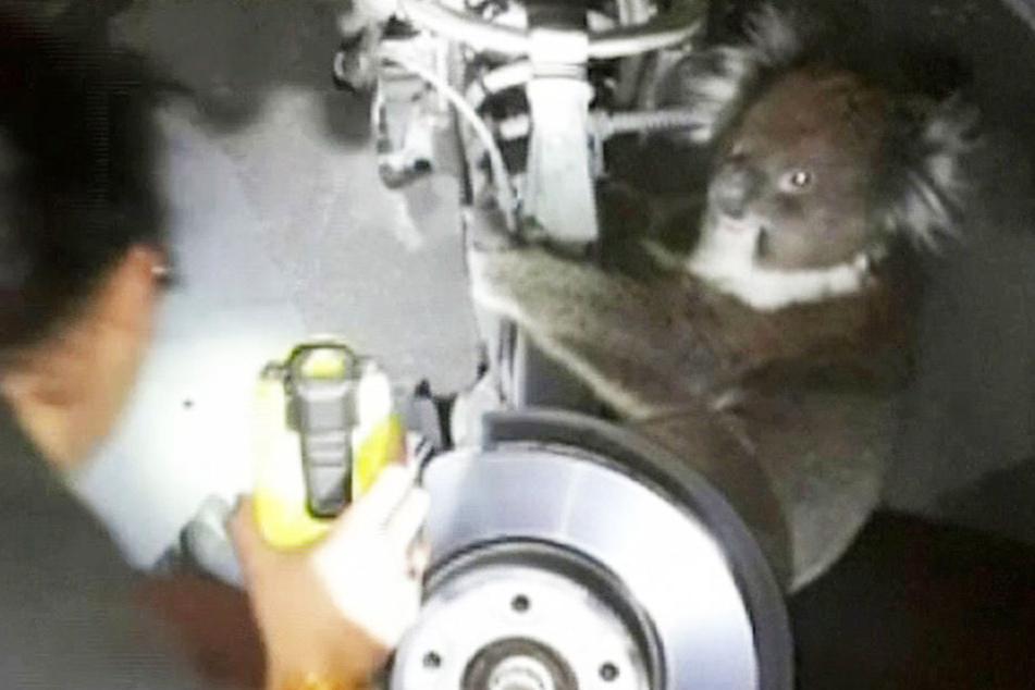 Der Koala hat eine 16 Kilometer lange Fahrt in dem Rad überlebt. Es hatte sich an der Hinterachse eines Autos festgeklammert und war als blinder Passagier mitgefahren.