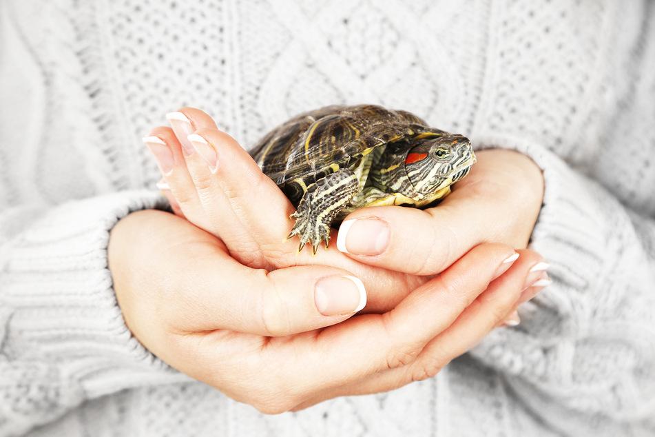 Schildkröten sind scheinbar nicht Gassi-bedürftig. (Symbolbild)