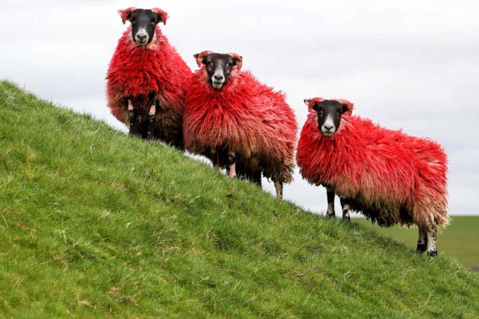 Ein Schaf ist ein Schaf. Da hilft auch keine Tarnung als Rotkäppchen oder Weihnachtsmann.