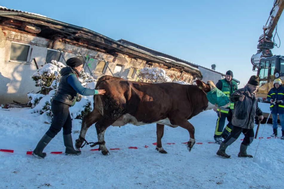 Großeinsatz: Stall bricht zusammen und schließt Kühe und Kälber ein