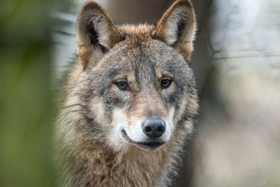 Ein Wolf im Wald. Archivbild.
