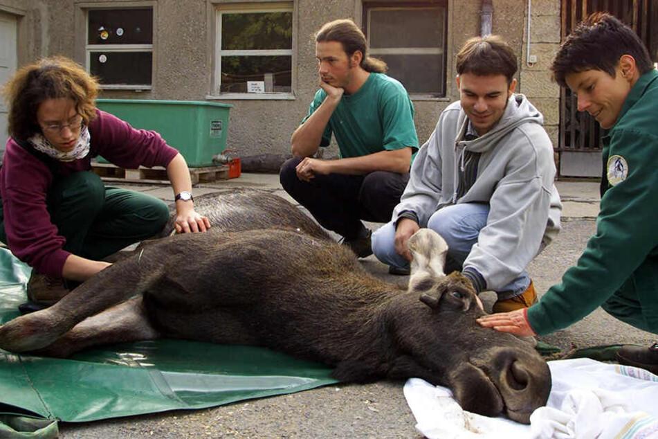 Traurig: Dieser junge Elch starb 2001 in Dresden. Er hatte sich bei der Flucht an einem Gartenzaun verletzt.