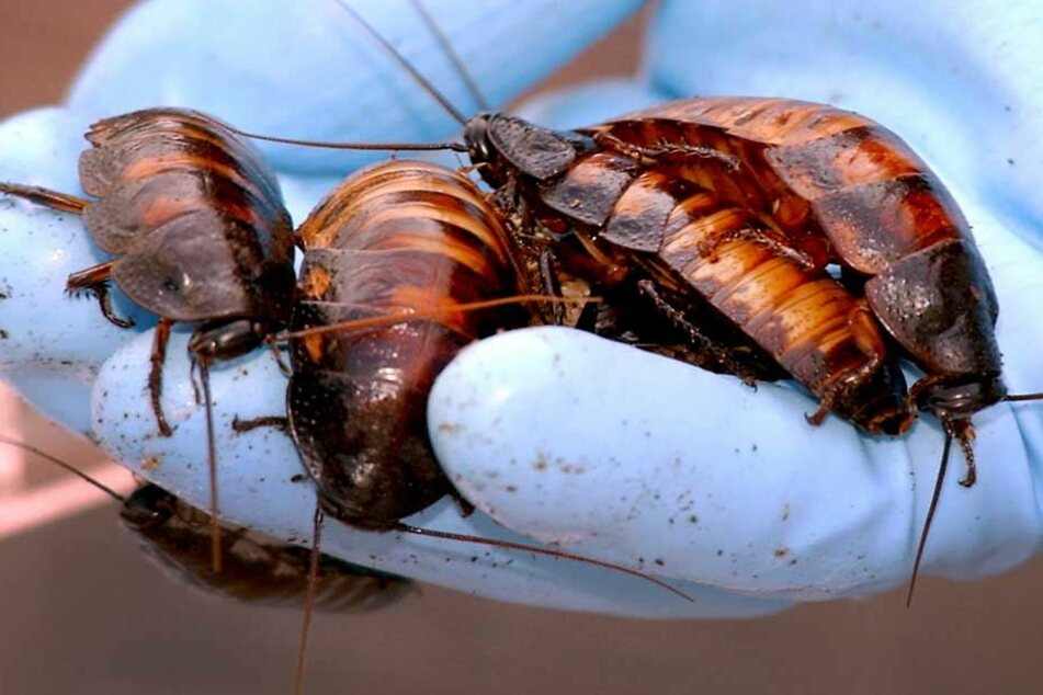 In gigantischen Farmen in China werden Milliarden Kakerlaken gezüchtet, die das Müllproblem lösen sollen.