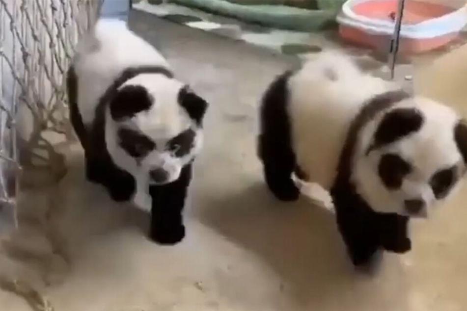 Hunde, die wie Pandas aussehen - dafür muss man nach China reisen...