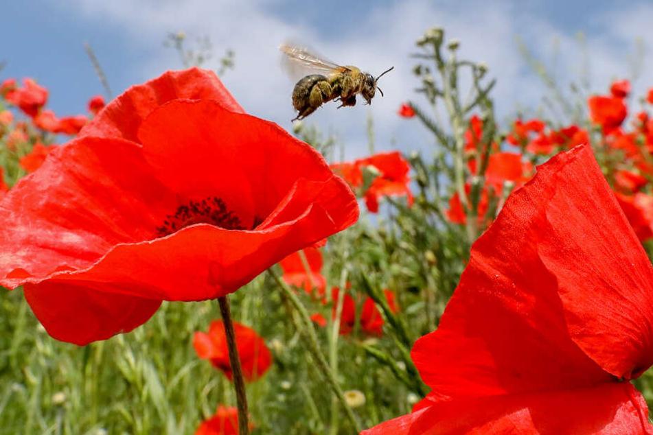 Bei der Umsetzung der Idee von Spürbienen gibt es noch einige offene Fragen.