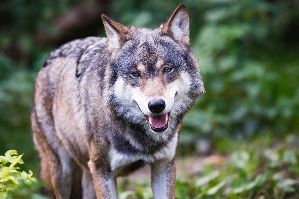 160 bis 200 Wölfe soll es derzeit in Sachsen geben. Tendenz steigend.