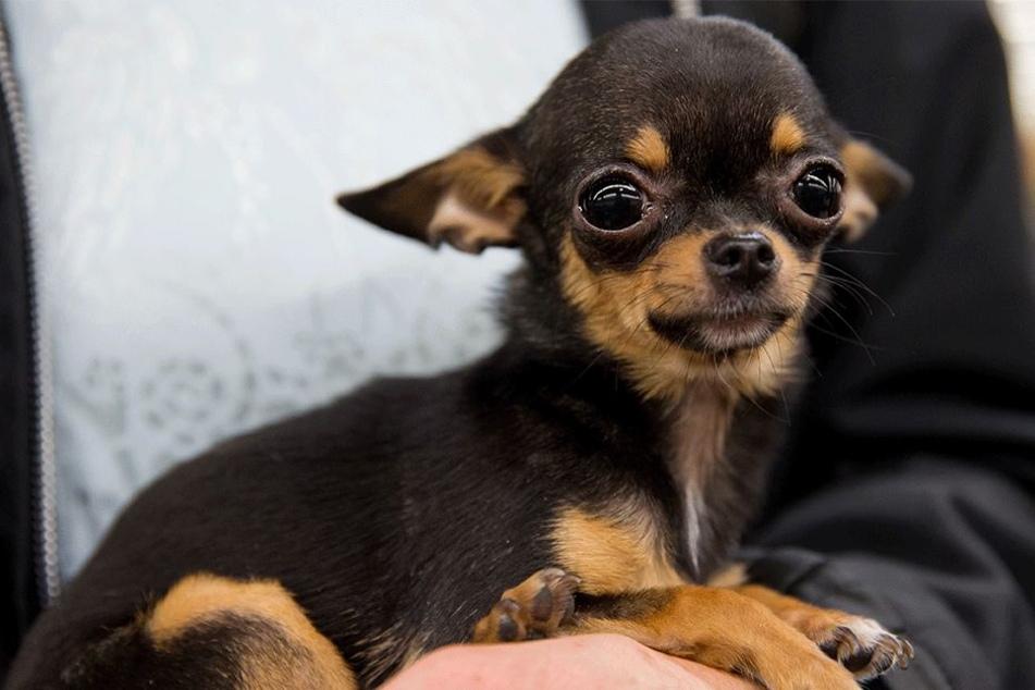 Auch ein Chihuahua-Mix musste sexuelle Praktiken über ich ergehen lassen (Symbolbild).