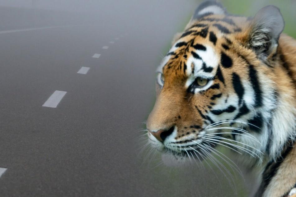 Lkw-Fahrer meldet angefahrenen Tiger auf der Autobahn